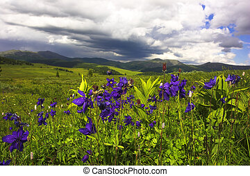 aquilegia meadow - high mountain field with blue flower and...