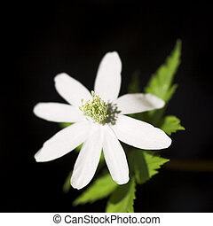 wind-flower - Wind-flower Anemone - first flower in the...