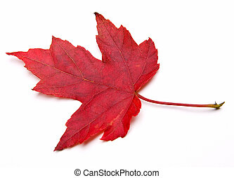 Red Maple Leaf - Red Sugar Maple Leaf (Acer saccharum)...