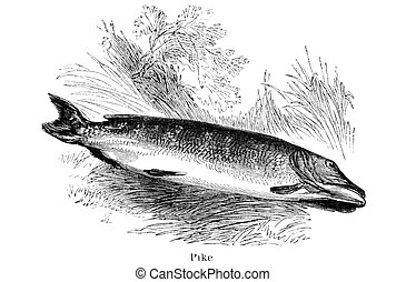 Pike - An engraved vintage fish illustration image of a pike...