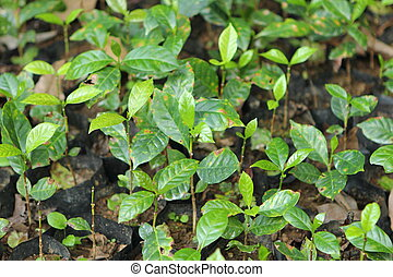young coffee tree plant