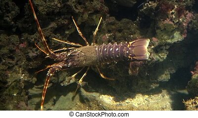 aquarium of genoa, lobster - lobsters have long bodies with...