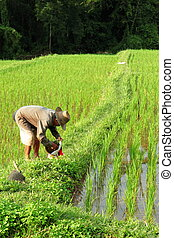 Thailand field rice - the field rice of northern thailand