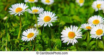 White daisy flowers - White daisy flowers isolated on green...