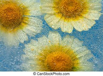 frozen flora - garland chrysanthemum frozen into a block of...