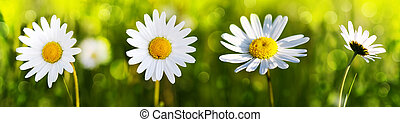 White daisy flowers . - White daisy flowers isolated on...