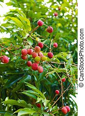 Red Lychee on the green tree
