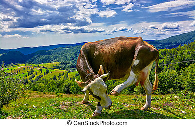 Funny Cow - Funny brown cow scratching on mountain landscape...