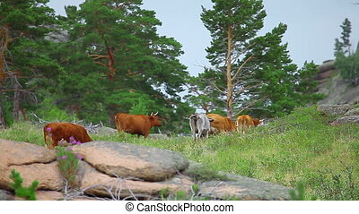 Cows Grazing On The Meadow