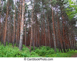 coniferous forest in the Caucasus Mountains near Kislovodsk