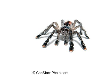 Spider - Tarantula spider avicularia metallica isolated on...