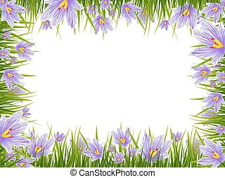 Spring Crocus Border - Illustration of Spring Purple Crocus...
