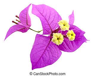 Santa Ritas Flowers - Pink and Yellow Flower, Santa Rita or...