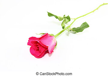Pink Rose - Pink rose on white background