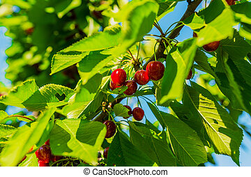 Cherry Tree - Cherry tree branch with cherries and leaves.