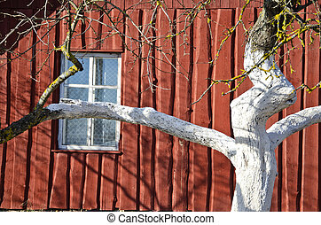 spring whitened apple tree trunk and farm house wall with...