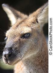 Australiano, wallaby,