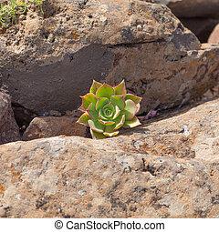 Aeonium percarneum - small plant of succulent Aeonium...