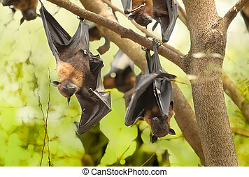 Flying foxes hanging on the tree