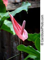 fenicottero, fiore,  (anthurium)