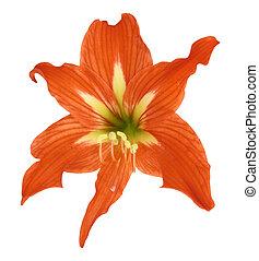 Lilium flower, white background