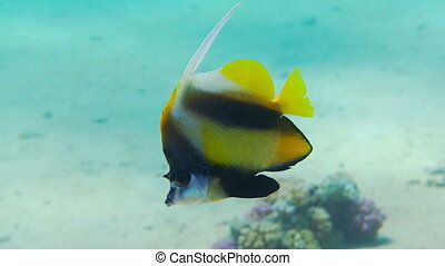 Banner-fish at the Red Sea coral reef - Beautiful...