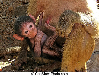 Baby Baboon - Mother baboon carrying her baby, he sucks his...