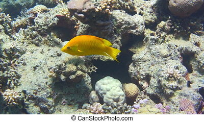 The Yellow Tang Zebrasoma flavescens drifts among corals at...