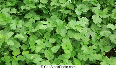 Green coriander in growth at vegetable garden