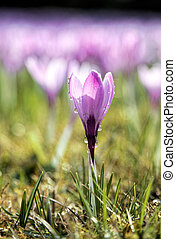 crocus - A crocus with waterdrops