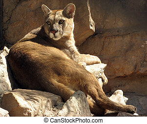 Puma mountain lion lying down over some rocks