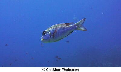 Bigeye emperor fish in the red sea - Shoal of Bigeye emperor...