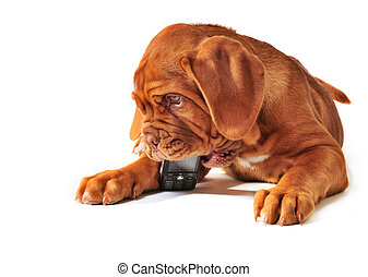 Puppy with Cell Phone - Cute Puppy of Dogue de Bordeax...