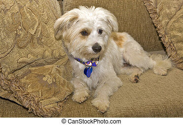 Doggie - Terrier Maltese Mix Doggie sitting on a couch