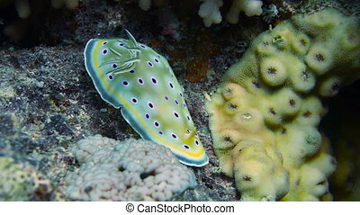 Nudibranch chromodoris africana in Red sea, Egypt