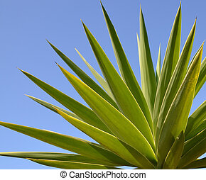 Yucca tree leaves. - Green yucca tree leaves on a blus sky...