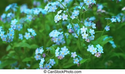 Myosotis blue flowers forget-me-nots close up - 1920x1080...
