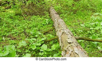 Hiking through the forest. Tree trunk lying on the ground and legs of a man