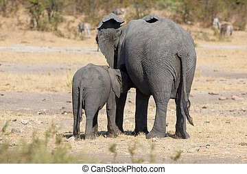 Elephant mother and calf walking while bonding relationship...