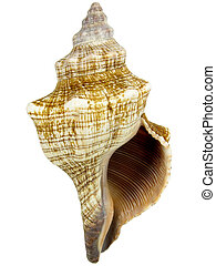 Conch - Brown and white conch; white background