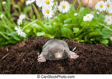 Mole in the hole - Mole out of its hole in the garden in...