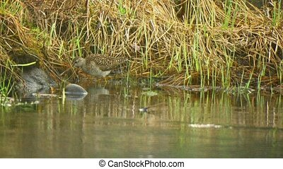 Pectoral sandpiper (Calidris melanotos) near the water -...