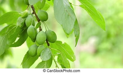 Branch of plum tree with green fruits close up - 1080p video...