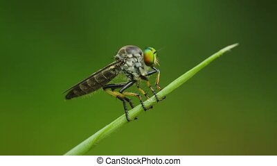 Video FullHD 1080p - Asilidae robber fly sits on a blade of...
