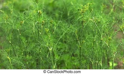 Green dill on a bed in the garden