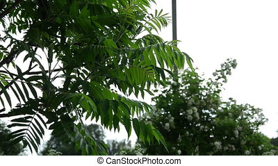 garden tree in rain - the ornamental garden tree large...