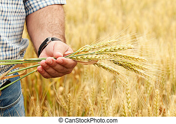 Farmer with wheat in hands. Field of wheat on background.