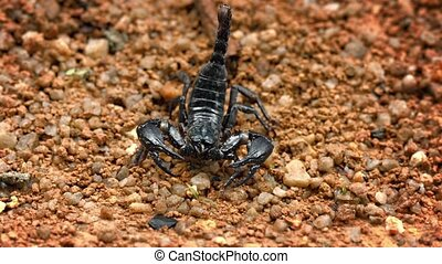 Asian forest scorpion Heterometrus on stony ground - Video...