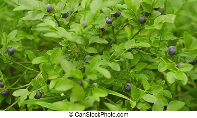 Blueberries on the bush in the forest close-up - 1080p video...