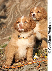 Nova scotia duck tolling retriever puppies